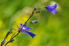 Big Bluebell or Campanula persicifolia Royalty Free Stock Image