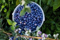 Blueberries. Big blueberries in a big bucket stock photos