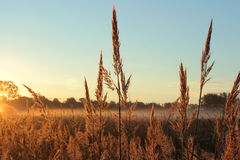 Big Bluestem prairie grass Stock Photos
