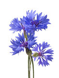 Big bluet cornflower isolated on white background Royalty Free Stock Photography