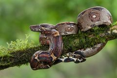 A boa constrictor coiled on a branch. A big boa constrictor coiled on a branch photographed in Costa Rica royalty free stock images