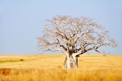 Big Boabab Tree in the Field Stock Photography