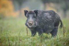 Big boar. Big European boar with large tusks stock photos