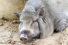 Big boar. Laying on the ground Stock Photography