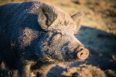 Big boar in the wild. Big wild boar in the wild in Siberia royalty free stock images