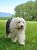 Big bobtail old english shipdog breed dog outdoors Royalty Free Stock Photos