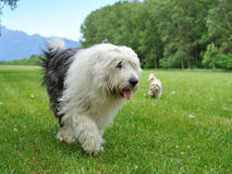 Big bobtail old english shipdog breed dog outdoors. On a field Royalty Free Stock Photography