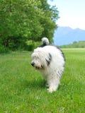 Big bobtail old english shipdog breed dog outdoors Royalty Free Stock Images