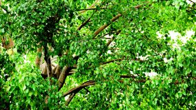 Big bodhi branch and leaves. For background Royalty Free Stock Photography