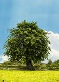 Big Bodhi tree. And blue sky stock photos