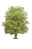 Big Bodhi tree isolated on white background Stock Image