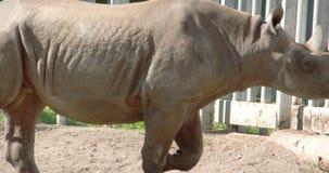 The  big body rhinoceros walking on inside his cage FS700 4K stock video