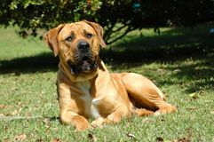 Big Boerboel Royalty Free Stock Image