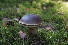 Big Boletus edulis, edible mushroom. Big Boletus edulis, brown edible mushroom on the green background, in the forrest royalty free stock photos