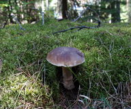 Big Boletus edulis, edible mushroom Stock Photo
