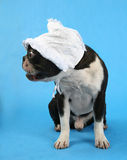 Big bonnet. A boston terrier with a baby bonnet on Stock Photography