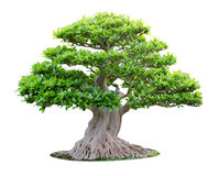 Big bonsai tree Stock Photos