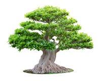 Big bonsai tree. Isolated on white background Stock Photos