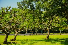 Big bonsai tree with green grass on the ground on the summer - photo indonesia bogor stock photography