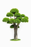 Big bonsai tree isolated on white. Big bonsai tree in garden isolated on white Royalty Free Stock Image