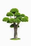 Big bonsai tree isolated on white Royalty Free Stock Image
