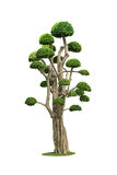 Big bonsai tree isolated on white. Big bonsai tree in garden isolated on white Stock Images