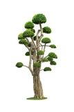 Big bonsai tree isolated on white Stock Images