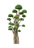Big bonsai tree isolated on white. Big bonsai tree in garden isolated on white Stock Photography