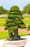 Big bonsai trees. In the garden Stock Photography