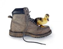 Big boot small duckling Royalty Free Stock Photos