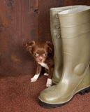 Big boots small puppy dog. Big boots with a three months old chihuahua puppy stock image
