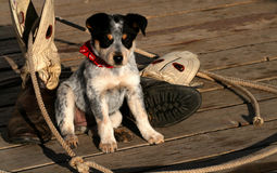 Big Boots To Fill. Blue Heeler Pup sitting with lariat and boots Royalty Free Stock Photography