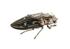 Big borer beetle Royalty Free Stock Photo