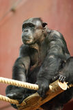 Big boss chimp Royalty Free Stock Image