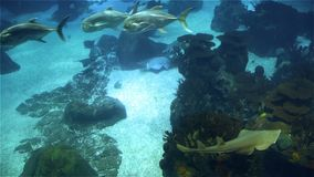 Big bottom shark close-up. A variety of tropical fish over a coral reef.  stock footage