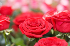 The big bouquet of red roses royalty free stock photo