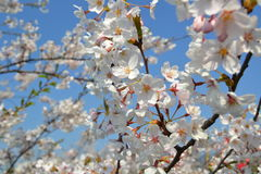 Big branch of blossoming cherry tree. At midday Royalty Free Stock Photo