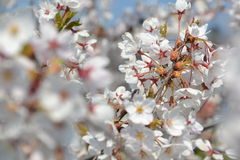 Big branch of blossoming cherry tree. At midday Royalty Free Stock Photos