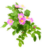 Branch of dog rose with flowers Stock Photography