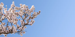 Big branch of springtime blossom almond tree Stock Photography