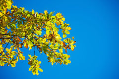 Yellow leaves of oak Royalty Free Stock Photos