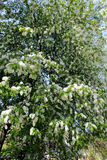 Big branches of bird cherry tree Royalty Free Stock Images