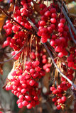Big branches of red ripe schisandra Stock Photography