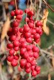 Big branches of red ripe schisandra Royalty Free Stock Photos