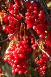 Big branches of schisandra Stock Photography