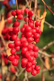 Big branches of schisandra Stock Image