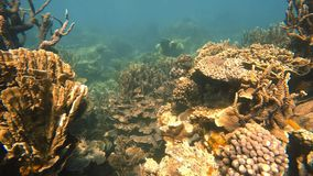 Big branching corals. A slow motion moving underwater shot of big branching corals stock footage
