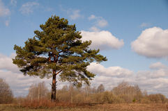 Big branchy pine Royalty Free Stock Photography