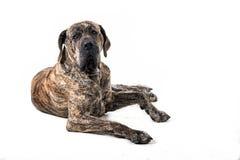 Big brazilan fila dog lying Stock Photos