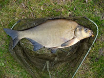 Big bream. Landed and ready to go back stock images